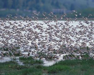 Hyde County shorebirds