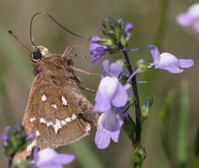 coastal skipper-on-toadflax, butterfly