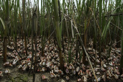 Flight of the fiddler crabs. If only they organized, the world would be theirs.