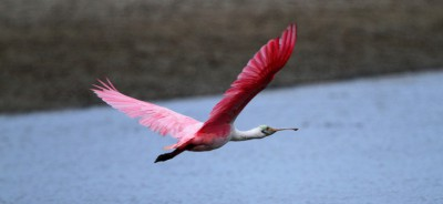 The roseate spoonbill glides over to easier tidal pickings.