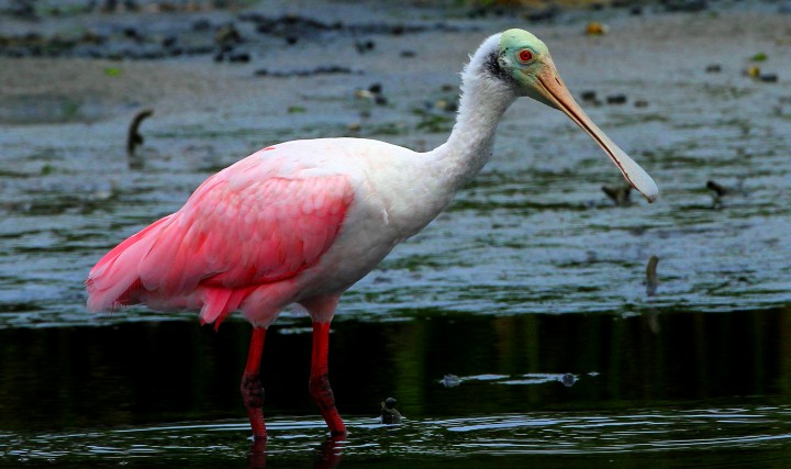 The large and colorful roseate spoonbill is not one of the usual avian visitors to Bear Island, but spent time here last week.