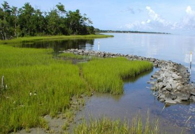 By growing marsh seedlings in large quantities, Carlton Campbell made large-scale restoration projects possible. Photo: N.C. Coastal Federayion
