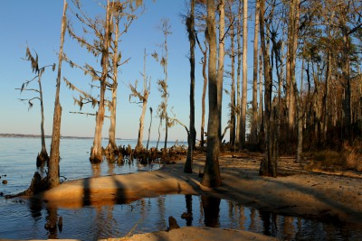 Cyprees trees on the Neuse River beach. The Neusiok Trail runs along this 2 million-year-old river, which is also the longest river in North Carolina. Photo: Sam Bland