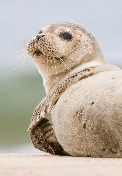 Harbor seal pup in Carova Beach, N.C. Photo: Jared Lloyd