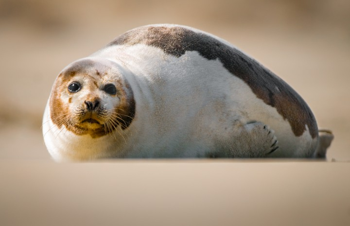 """An adult harp seal in Carova, N.C. The colony of seals appearing in North Carolina is the southernmost known in the Atlantic, and very little is known about the ecology and population biology of these animals, says biologist Johnson. """"These are important questions in the context of climate change, as these animals are found at the southernmost limits of their thermal tolerance,"""" said Johnston. Furthermore, """"This area is also the focus of upcoming construction which could impact these animals."""" Photo Jared Lloyd."""