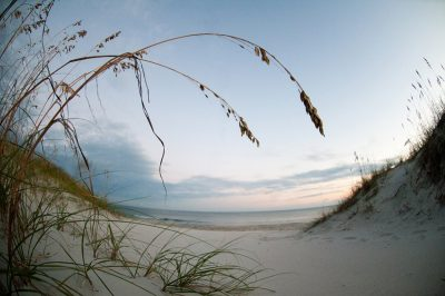 Sea oats, a native plant of N.C. beaches, help to knock down blown sand and build up the dunes. Their roots also help prevent erosion of the dunes, which protects property from storm damages. Photo: Jim Snyders
