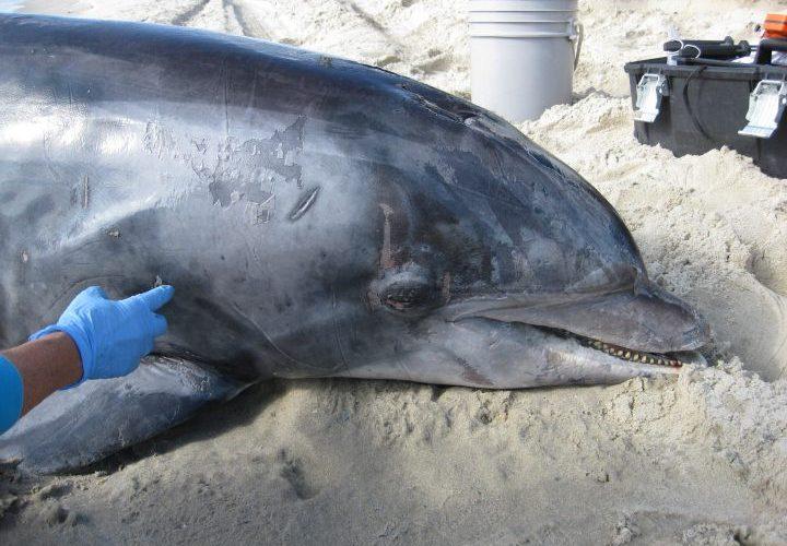 dolphin stranding 2