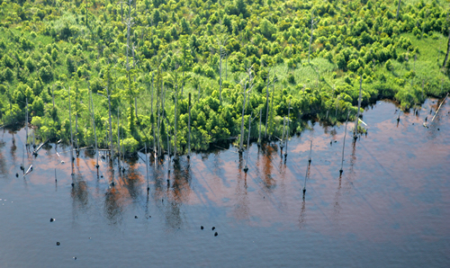 Too much saltwater is slowly killing off bald cypress and black gum trees at Alligator River National Wildlife Refuge. Photo: U.S. Fish and Wildlife Service
