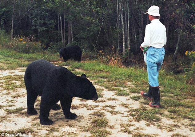 Grayson would walk along a logging road and call in a sing-song voice to feed the bears, sometimes from the palm of her hand. Grayson became a fierce advocate and protector of the bears, constantly on the lookout for poachers and hunters. Photo: Drew Wilson.