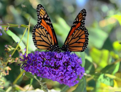 Monarch butterflies  are in trouble. They need native plants to feed and milkweed for the caterpillars. Photo: Extension Master Gardeners