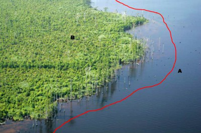 This is a photo of the western shoreline of Alligator River National Wildlife Refuge with a view to the south, taken in 2009. The red line, letter A, represents where the shoreline was in 1984. B shows that the swamp forest has become most shrubs since 1984. Source: Alligator River National Wildlife Refuge