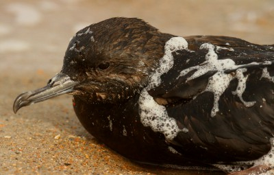 Sam Bland found this Audubon shearwater soaked within the sea foam. Sea foam produced by some types of algae has been known to reduce the ability of bird feathers to repel water, resulting in hypothermia. Photo: Sam Bland