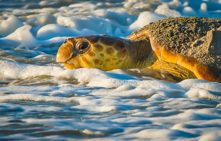 Th great ocean sea turtles excrete salt from the supraorbital gland in the form of gelatinous saline infused tears. Photo: Jared Lloyd