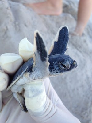 A green turtle hatchling  was rescued from the bottom of a nest three days after a hatch. Photo, Ranger Patrick Amico, Fort Fisher State Recreational Area