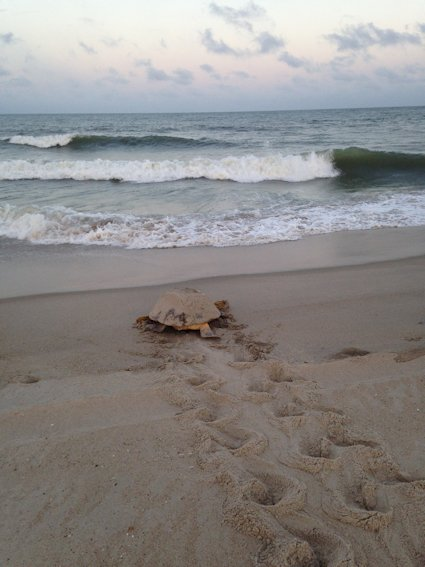 A mother loggerhead returns to the water after nesting.  Photo by Ranger Alyssa Taylor, Fort Fisher State Recreational Area