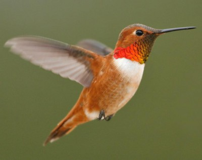 The rufous hummingbird is a western species. Photo: Brian E. Small.