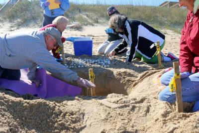 Volunteers with the Network for Endangered Sea Turtles, or NEST, in November removed eggs from this nest that was dug too late to hatch naturally. The eggs were placed in incubators. Photo: NEST