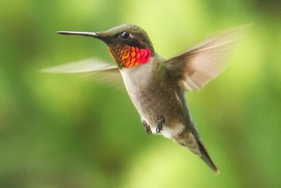 Ruby-throated hummingbirds, like this one, usually fly south the Mexico or Central America for the Winter, but more and more they're being spotted on the N.C. coast. Photo: Louise McLaughlin, National Park Service