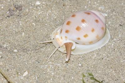 A live Scotch bonnet gastropod, or snail seen in Sanibel Island, Fla.