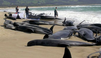 While there's no hard science to prove it, there have been a number of instances around the world of marine mammals beaching themselves in areas where seismic surveys have been performed. Photo: Oceana