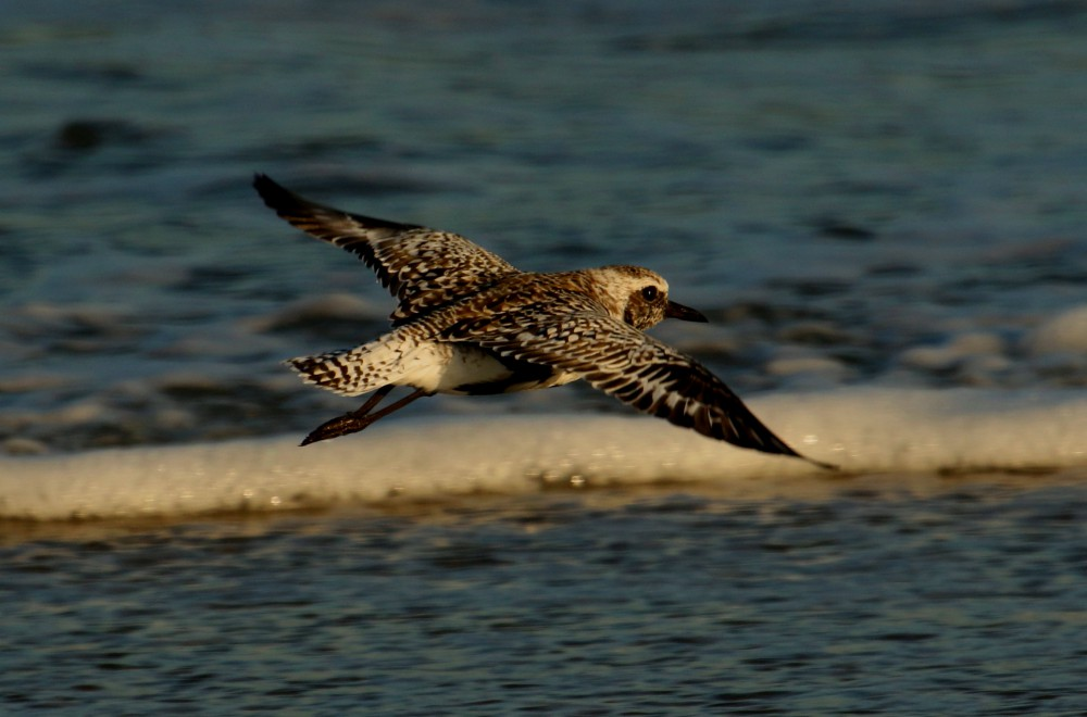 At the edge of the surf, a lone black-belied plover foraged among the swash of the incoming waves. Vigilant of my presence it quickly took to flight. Other shorebirds that feed along with this plover benefit from its cautious nature of acting as an alarm.