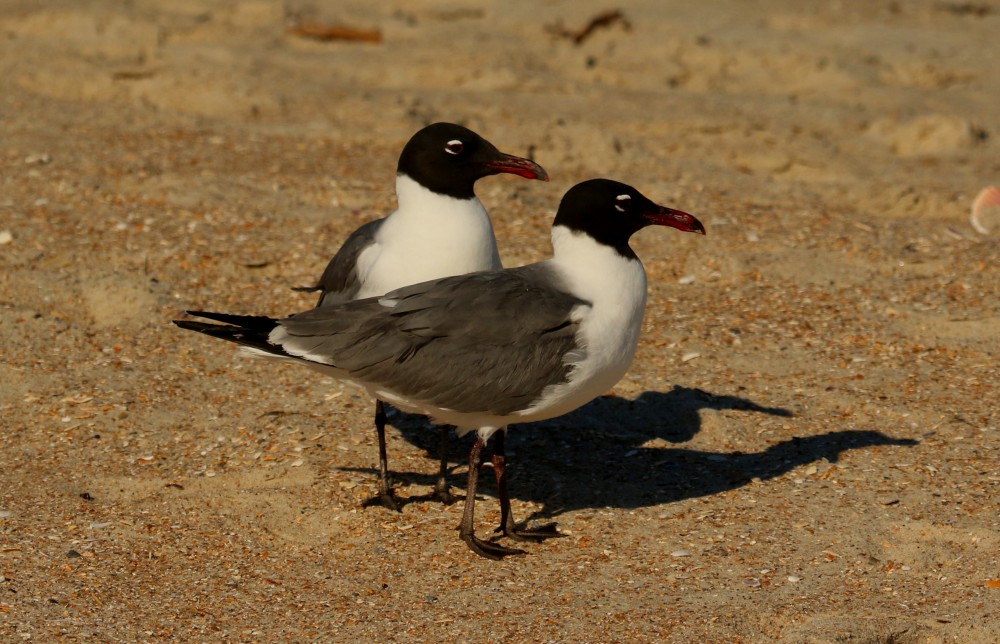 As I reclined against my backpack eating my dinner two laughing gulls zeroed in on me as an easy mark. However, they soon left disappointed as I paid them no mind.