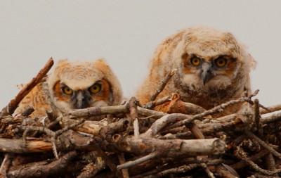 great horned owl chicks. Photo: Sam Bland