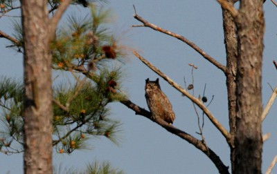 The great horned owl adult perches atop a dead pine tree in view of her nesting chicks. Photo: Sam Bland