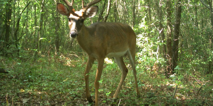 A large white-tail buck poses for the camera in one of the images captured as part of the Northeast Cape Fear River Wildlife Exhibit at the N.C. Aquarium at Fort Fisher.