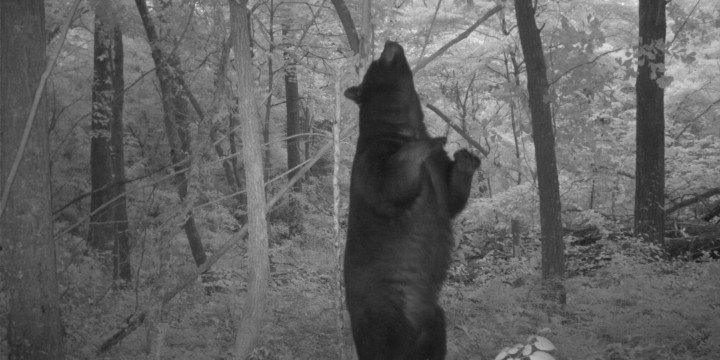 A large black bear scent marks a tree along the river