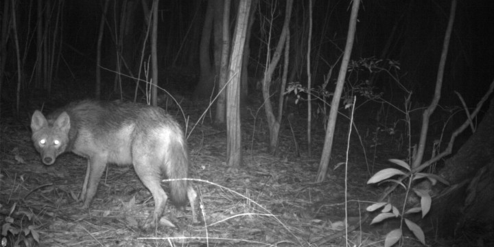 A lone coyote reacts to the flash in the early morning hours.