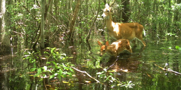 A white-tail doe and fawn wade through the flooded timber of the Northeast Cape Fear River