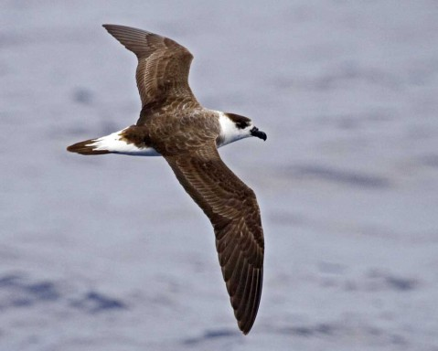 The black-capped petrel  forages off the Atlantic coast from North Carolina to Florida. They were once believed to be extinct, but a few breeding colonies remain in the Caribbean. Photo: The Audubon Society