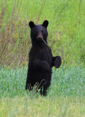 A new festival set for this weekend in Plymouth celebrates black bears, including this cub strolling on two legs. Photo: Sam Bland