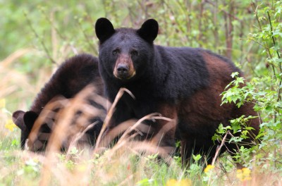 In North Carolina, there's about one bear for every 200 acres but they may often be spotted in pairs or groups. Photo: Sam Bland