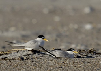 An incubating adult least tern is shown with its mate in background. Photo:  Lindsay Addison of N.C. Audubon