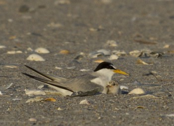 An adult least tern is shown with its chick. Photo: Lindsay Addison of N.C. Audubon