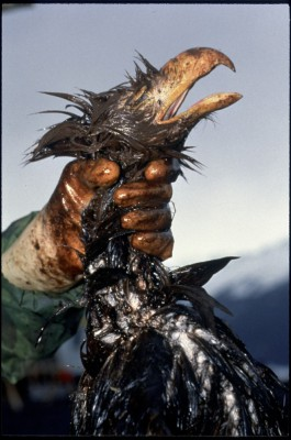 Oil from the Exxon Valdez tanker accident in 1989 despoiled miles of shoreline in Alaska and killed an untold number of wildlife, including this eagle. Photo: Bill Eppridge