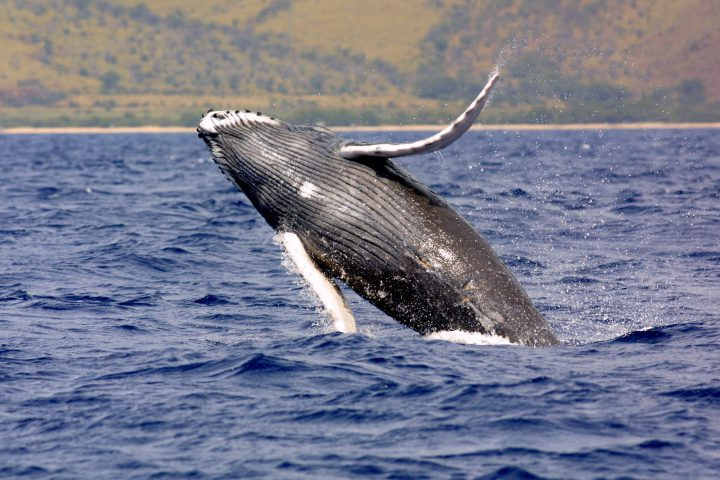 Humpback whales, such as the one shown, have been protected under the Endangered Species Act for 40 years. Photo: NOAA