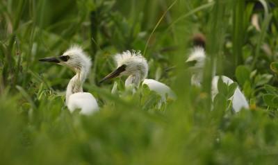 Snowy egret chicks poke their heads above the grass on Raccoon Island. Photo: Sam Bland