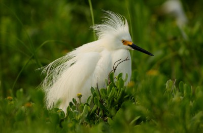 An adult snowy egret shows off its breeding plumes. Photo: Sam Bland