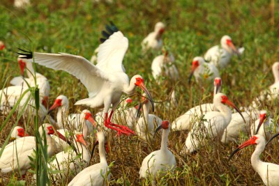 An adult white ibis lands in a rookery on Raccoon Island. Photo: Sam Bland