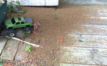 The remains of a swarm in Kitty Hawk. Sometimes they're so thick they have to be scooped up. Photo: Lexie Brindle, Outer Banks Voice