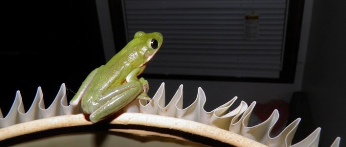 A green frog frog at the sanctuary. Photo: National Audubon