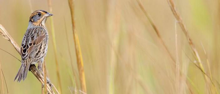 A salt marsh sparrow in the sanctuary. Photo: Mark Buckler, National Audubon