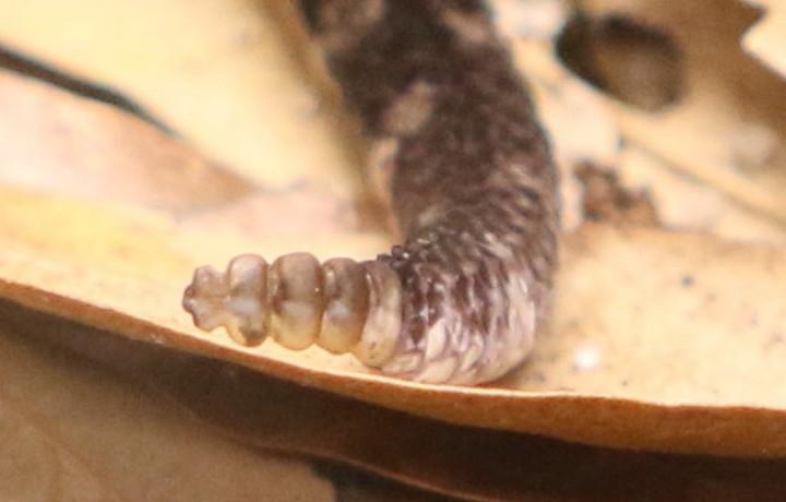Pigmy rattlesnake's rattle