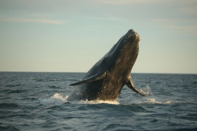 The North Atlantic right whale is is one of the species of most concern in regard to seismic surveying. Photo: Canadian Wildlife Federation