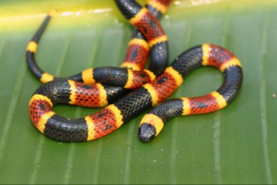 The eastern coral snake is found only in North Carolina along the southeast coastal plain. It is often confused with the harmless scarlet kingsnake. Photo: nature.com