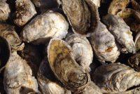 The Swartzenbergs were fierce protectors of the oysters of Stump Sound. Photo: North Carolina Sea Grant