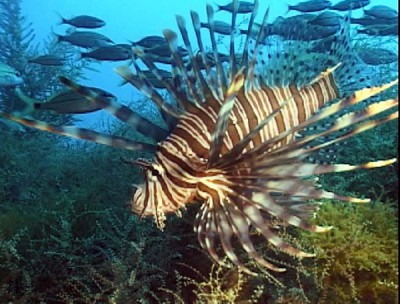An adult lionfish trolls a wreck about 40 miles off the N.C. coast. Photo: NOAA scientist Paula Whitfield